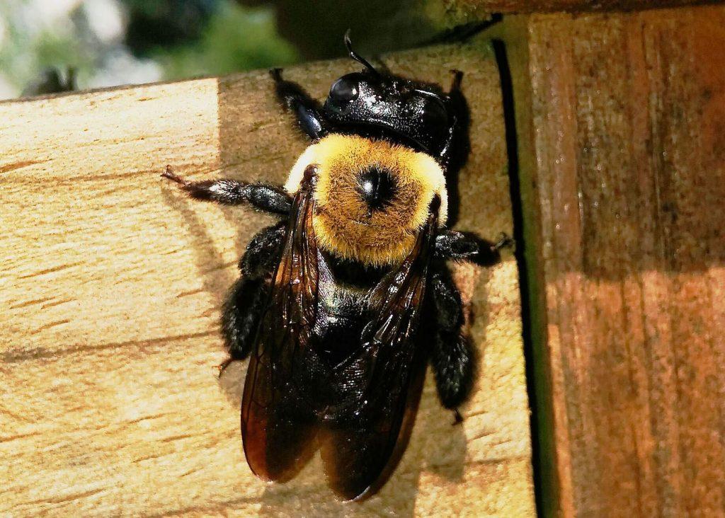 serangga pemakan kayu